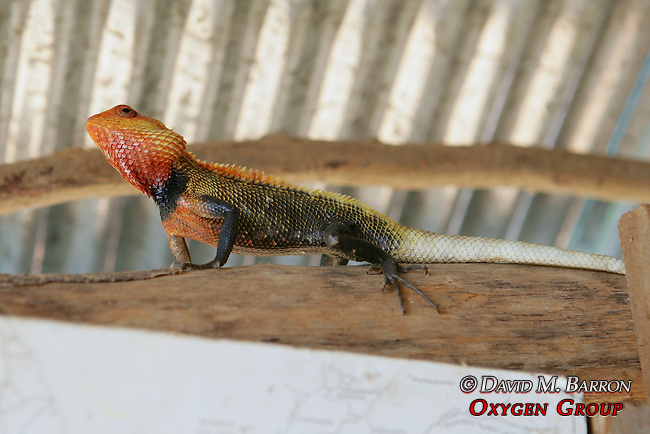 Sri Lankan Common Garden Lizard