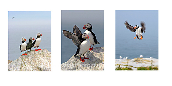 Puffin Collage v