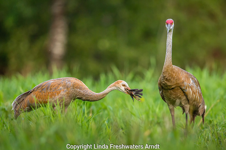 Young sandhill crane eating the red-winged blackbird that was killed by the parent