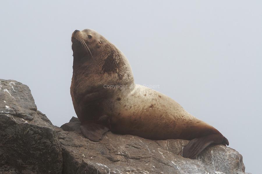 Iony Island, Steller Sea Lion breeding rookery..Colonie de lions de mer de Steller sur l'ile de Iony en Mer d'okhotsk. Le lion de mer de Steller ou otarie de Steller (Eumetopias jubatus) est la plus grande des espèces d'otariesLeurs lieux de reproduction se trouvent entre le Golfe central de l'Alaska et les îles Aléoutiennes occidentales