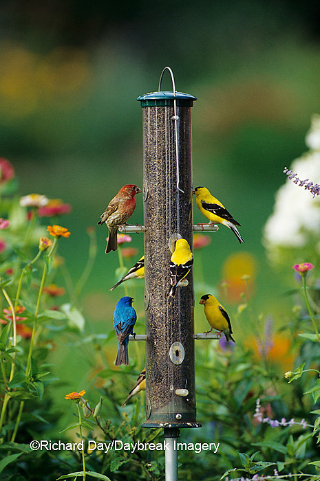 00585-01118 House Finch, American Goldfinches and Indigo Bunting on thistle feeder, Marion Co. IL