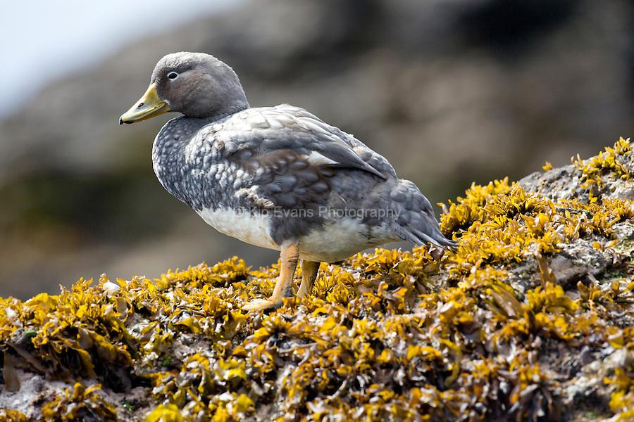 A Falkland flightless steamer duck (Tachyeres brachypterus) along the coast of Chile.
