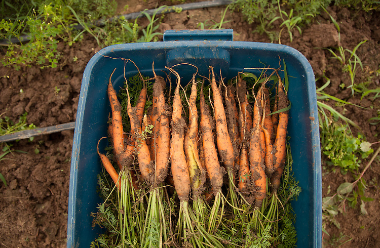 Freshly harvested organiz carrots at Green Edge Garden in Amesville, Ohio. Photo by Ben Siegel/ Ohio University