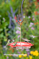 01162-12413 Ruby-throated Hummingbirds (Archilochus colubris) at feeder by flower garden, Marion Co.  IL