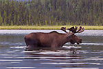 Bull Moose feeding in Mayfield Lakes.  Muskwa-Kechika Management Area in British Columbia, Canada.  Northern Rocky Mountains.
