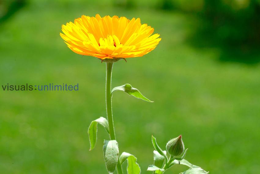 Marigold flower (Calendula officinalis)