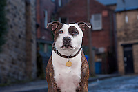 Male Staffordshire Bull Terrier, Sheffield, Yorkshire.