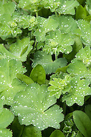 Rain or dew drops on Alchemilla mollis foliage