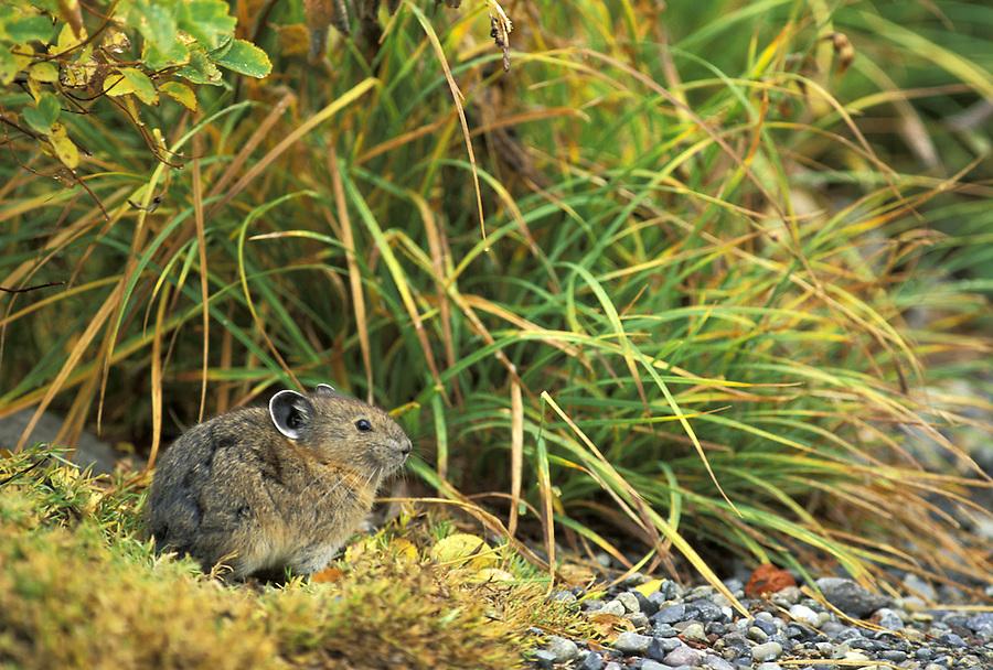 American Pika (Ochotona priceps), Edith Creek Basin, Paradise, Mount Rainier National Park, Washington