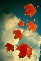 Red maple (acer rubrum) leaves falling  with blue sky and clouds in perfect fall day. Midwest USA