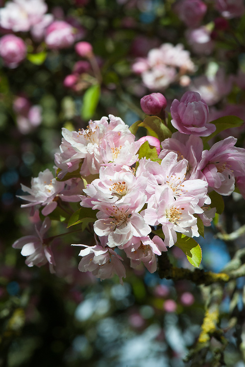 Malus spectabilis 'Riversii', late April. Blossom of 'Rivers' Chinese flowering crab apple.