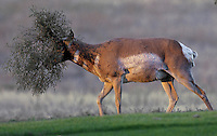 A pronghorn wears a tumbleweed headdress as it walks up a Lake Hills Golf Course fairway Sunday August 7, 2005.