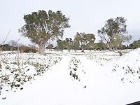 OLYMPUS DIGITAL CAMERA La nevicata in terra salentina del gennaio 2017 è stata un evento raro: l'ultima nevicata di pari intensità pare risalga a 30 anno fa. Il risultato è un paesaggio inconsueto, uno scenario dove il manto di neve quanti senza dettagli illumina tutto ciò che non ha coperto. La visione del Salento come terra solare e calda viene stravolta e i colori che ne vengono fuori non sono alterati ma, al contrario, sono amplificati. Neve apparente perché in realtà il manto bianco riesce appena a coprire la terra: è una veste che trabocca dai confini consueti appena arricchita da ulivi secolari e muretti a secco che, per la loro età, paradossalmente hanno già visto la neve.