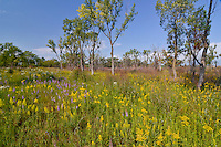 Goldenrod and Blazing Star bloom in late summer with Cottonwood trees just starting to turn color at the West Beach Unit, Indiana Dunes National Lakeshore in Porter County, Indiana