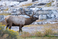Bull elk gather near Mammoth Hot Springs during the autumn rut.