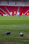Doncaster Rovers Belles 1 Chelsea Ladies 4, 20/03/2016. Keepmoat Stadium, Womens FA Cup. Pigeons busy eating grass seeds while Doncaster players wait to restart the game followeing aChelsea's second goal. Photo by Paul Thompson.