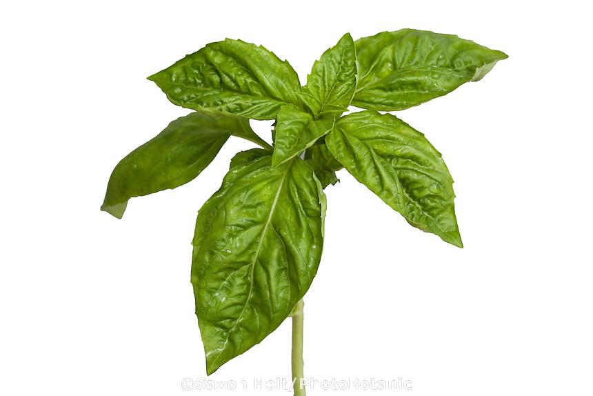 Genevese basil, Ocimum basilicum culinary herb green leaf, leaves silhouette
