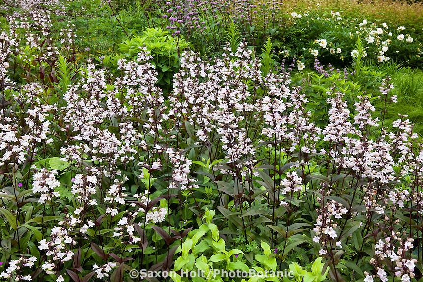 White flower Foxglove Penstemon (Penstemon digitalis) 'Husker's Red' perennial in Lurie Garden Millenium Park, Chicago