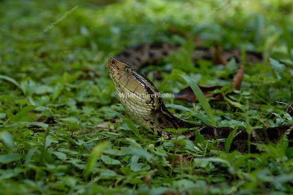 The Terciopelo (Bothrops asper), also called the Fer-de-lance, is one of the most feared and dangerous pit vipers of the central American rainforests; La Selva, Costa Rica