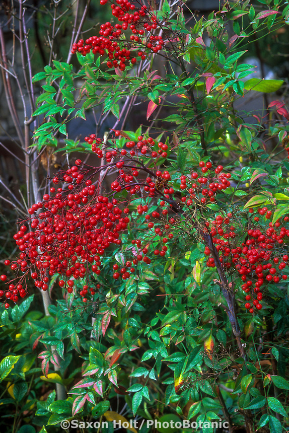 Nandina domestica (Heavenly Bamboo) with red berries
