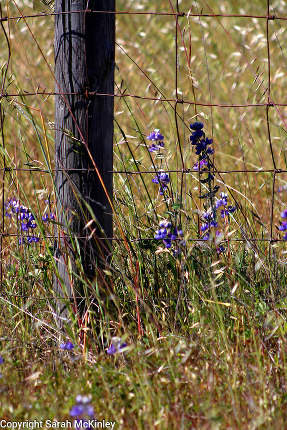 Lupine growing near a wire fence in Asti in Sonoma County in Northern California.