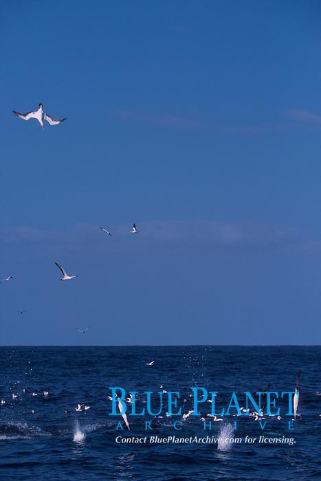 Cape gannets, Sula capensis, dive into a baitball of sardines, Sardinops sagax, during annual Sardine Run, South Africa (Indian Ocean)