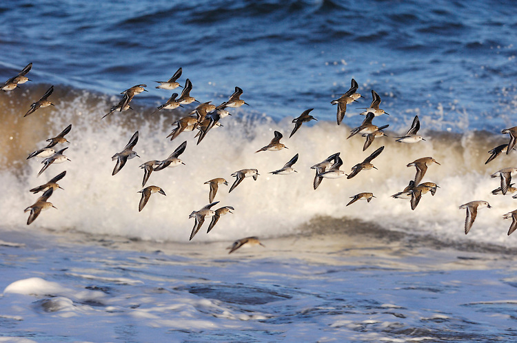 Mixed waders in flight,North Northumberland, England