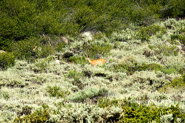 Two young female deer in the California High Sierra