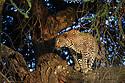 Male leopard (Panthera pardus) climbing an Acacia tree. Woodland on the edge of the short grass plains of the Serengeti / Ngorongoro Conservation Area (NCA) near Ndutu, Tanzania.