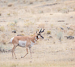 A male pronghorn antelope walks across a meadow in Yellowstone. Pronghorn Antelope are a frequent site in Yellowstone National Park.
