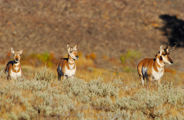 Pronghorn Male and Females, Blacktail Plateau, Yellowstone National Park, Wyoming