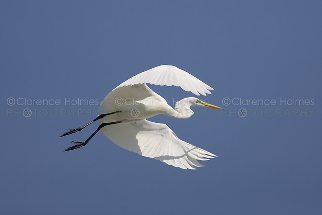 Great Egret (Ardea alba) flapping its wings while taking off into flight