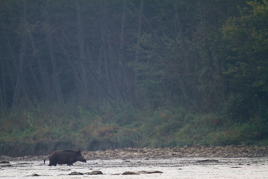 Single Wild boar (Sus scrofa) crossing the San River on a misty September morning. Krywe Nature Reserve, Bieszczady region, Poland.