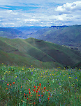 Zumwalt Prairie Preserve, OR<br /> A hillside of paintbrush, balsam root, and brodiaea with ridges descending toward the Imnaha River Canyon from Long Ridge.  (A Nature Conservancy Preserve)
