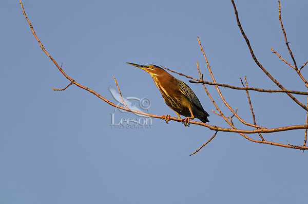 Green heron ( Butorides virescens) in tree, spring, Great Lakes Region, North America.