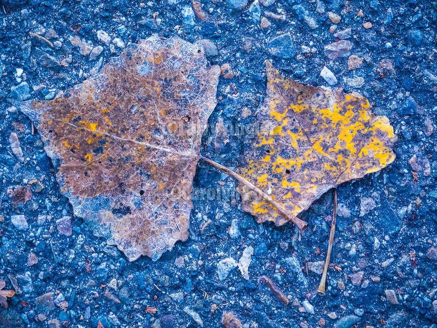 Poplar leaves on the street, Peek Hill, Jackson, Calif.