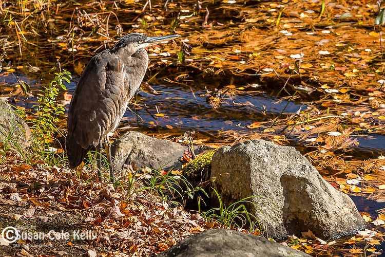 A Great Blue Heron in Somesville, Maine, USA
