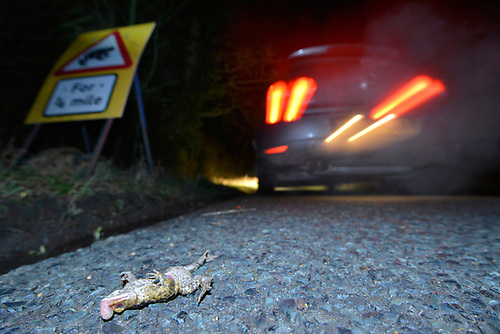 Toad Patrol on a busy Hampshire lane. In early spring every year, thousands of toads, frogs and newts migrate from their hibernation sites to breeding grounds. These journeys often involve road crossings and many are killed by unsuspecting motorists. With awareness of this major problem growing, volunteer groups are now a common sight in known hotspots, helping to reduce the casualty numbers by slowing traffic and collecting these animals from the road.