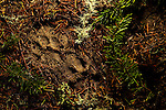 Mountain Lion (Puma concolor) tracks, Pescadero Creek County Park, California