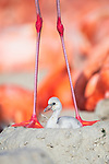 American Flamingo (Phoenicopterus ruber) standing over newly hatched chick. Yucatan, Mexico.