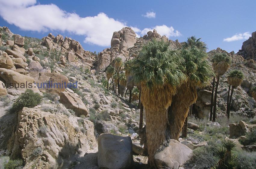 California Fan Palms around Lost Palm Oasis ,Washingtonia filifera,, Mojave Desert, Joshua Tree National Park, California, USA.