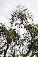 Phnom Penh, Cambodia. Flying dogs sleeping on a tree.