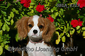 Bob, ANIMALS, REALISTISCHE TIERE, ANIMALES REALISTICOS, dogs, photos+++++,GBLA4323,#a#, EVERYDAY