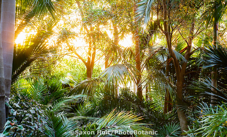 Gauzy morning light through palm trees, Worth Garden, California