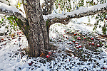 Fallen apples beneath the apple tree after an early snow storm.