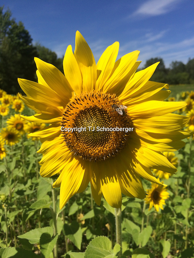 A closeup of a huge sunflower with a honey bee on it in a sunflower field on a beautiful August morning.