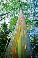 Looking up at Rainbow Eucalyptus (Eucalyptus deglupta). Keanae Arboretum. Maui, Hawaii