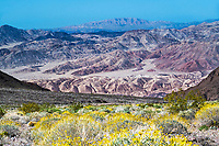 Wildflowers, Death Valley, California.