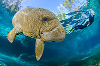 Florida manatee, Trichechus manatus latirostris, a subspecies of West Indian manatee, calf and woman snorkeler, Three Sisters Springs, Crystal River National Wildlife Refuge, Kings Bay, Crystal River, Florida, USA, MR