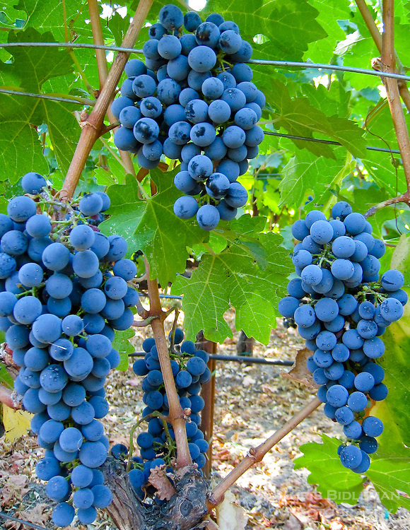 Gift card photo (set of 4) of Clusters of red wine grapes in a vineyard ready for picking with bright green leaves on grapevines